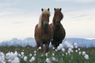 Iceland_Horses_088