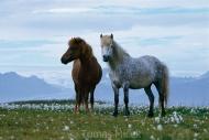 Iceland_Horses_089