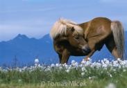 Iceland_Horses_092