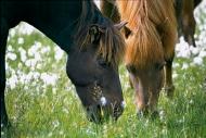 Iceland_Horses_095