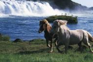 Iceland_Horses_112