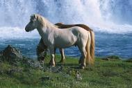 Iceland_Horses_113