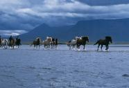 Iceland_Horses_114