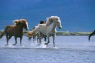 Iceland_Horses_115