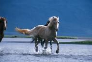 Iceland_Horses_116