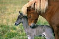 Iceland_Horses_121