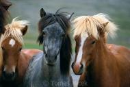 Iceland_Horses_123