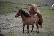 Iceland_Horses_126