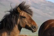 Iceland_Horses_128