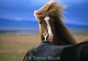 Iceland_Horses_129
