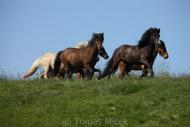 Iceland_Horses_138