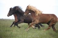 Iceland_Horses_142
