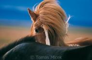 Iceland_Horses_144