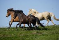 Iceland_Horses_145
