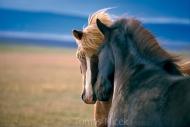 Iceland_Horses_146