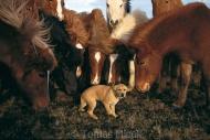 Iceland_Horses_147