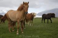 Iceland_Horses_158