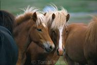 Iceland_Horses_159