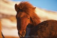 Iceland_Horses_162