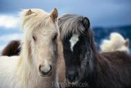 Iceland_Horses_163