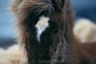 Iceland_Horses_164