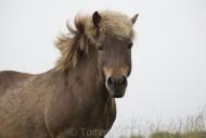 Iceland_Horses_166