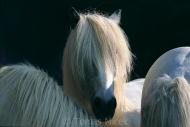 Iceland_Horses_168