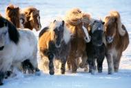 Iceland_Horses_187