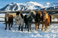 Iceland_Horses_190