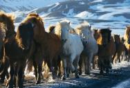 Iceland_Horses_191