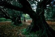 Olives_003