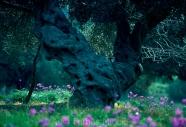 Olives_005