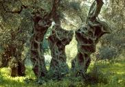 Olives_006