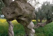 Olives_012