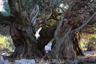 Olives_025