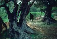 Olives_029