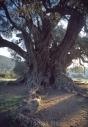 Olives_031