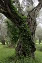 Olives_032