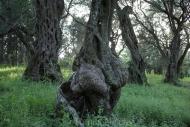 Olives_033