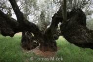 Olives_035
