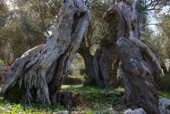 Olives_036
