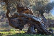 Olives_039