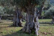 Olives_041