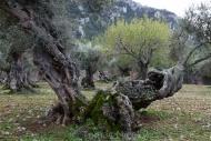 Olives_042