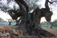 Olives_047