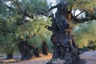 Olives_051