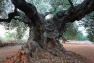 Olives_052