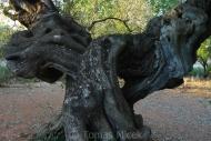 Olives_053