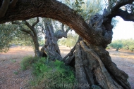 Olives_054