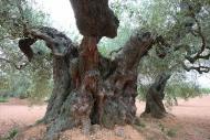 Olives_057